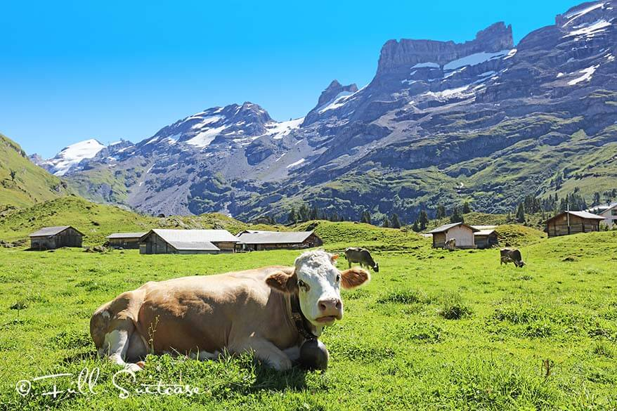 Swiss cows in the mountains in Switzerland