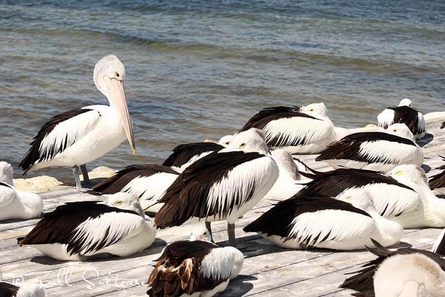 Pelican feeding Kingscote Kangaroo Island