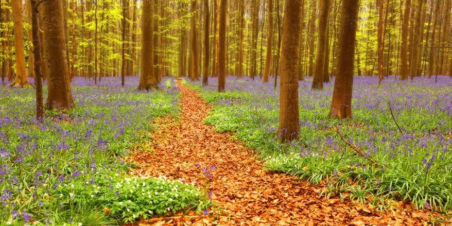 Hallerbos forest in Belgium