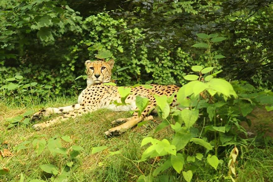 Cheetah in Planckendael
