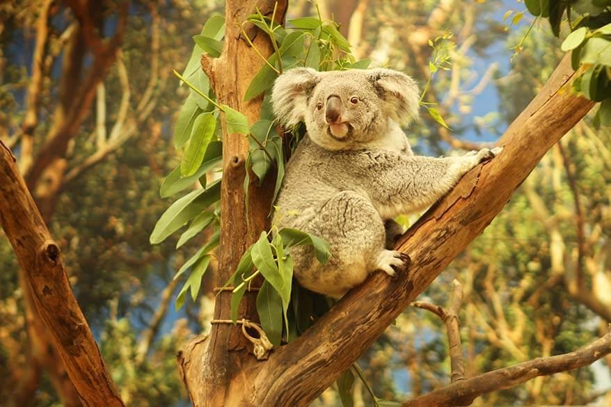 Koala in Planckendael animal park