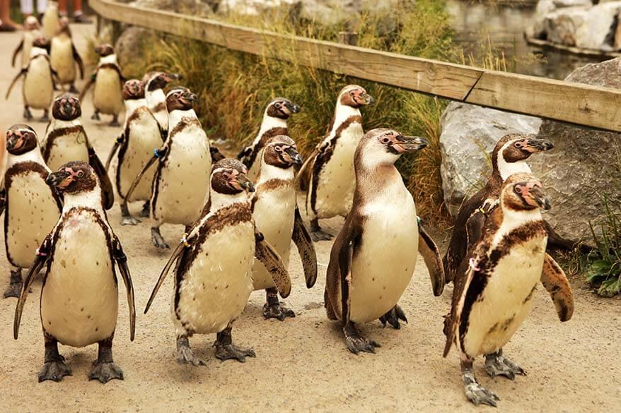 Walk among penguins in Planckendael animal park in Belgium