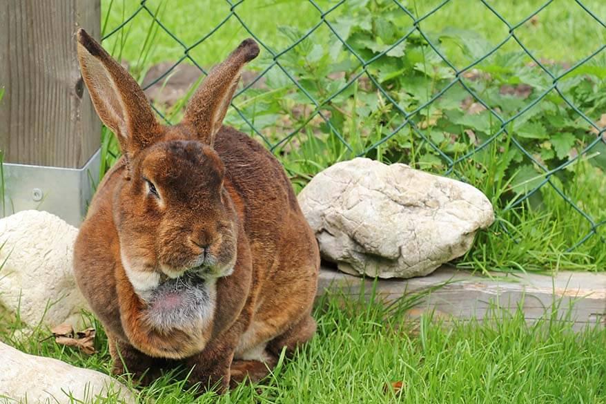 Rabbit at Gasthof Kaiserhaus animal farm - Tyrol Austria