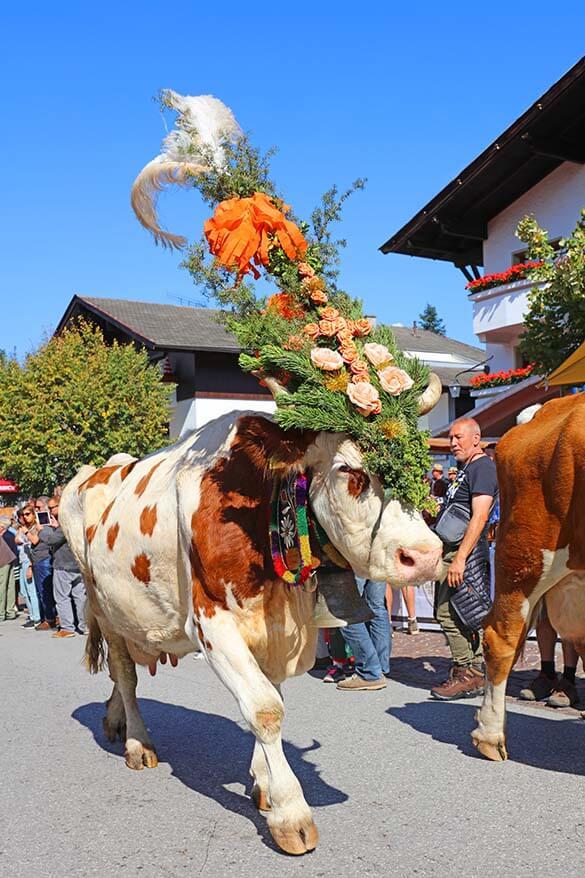Traditional cattle drive Almabtrieb in Tyrol Austria