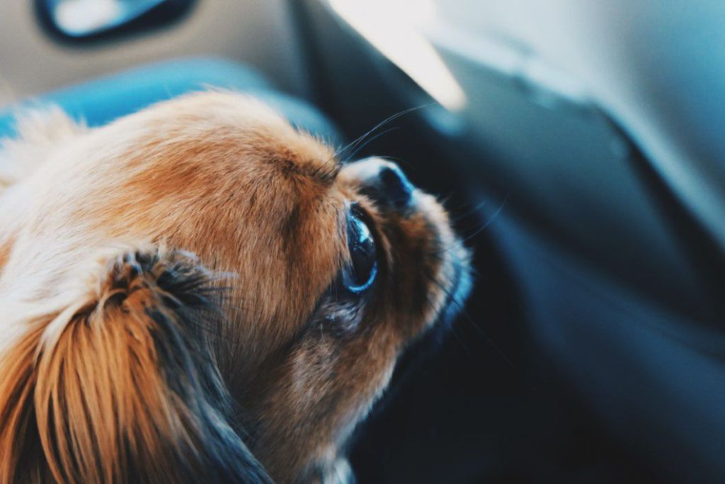 Dog in car