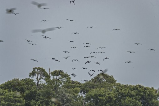 Magnificent Frigate Birds (Frigate magnificens) soaring over their breeding colony