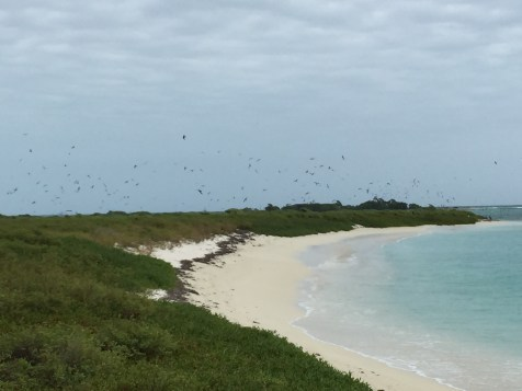 Sooty Terns nesting at Dry Tortugas NP