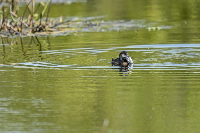 Pied-billed Grebe (Podilymbus podiceps) trying to devour a fish that was much too large for its gullet