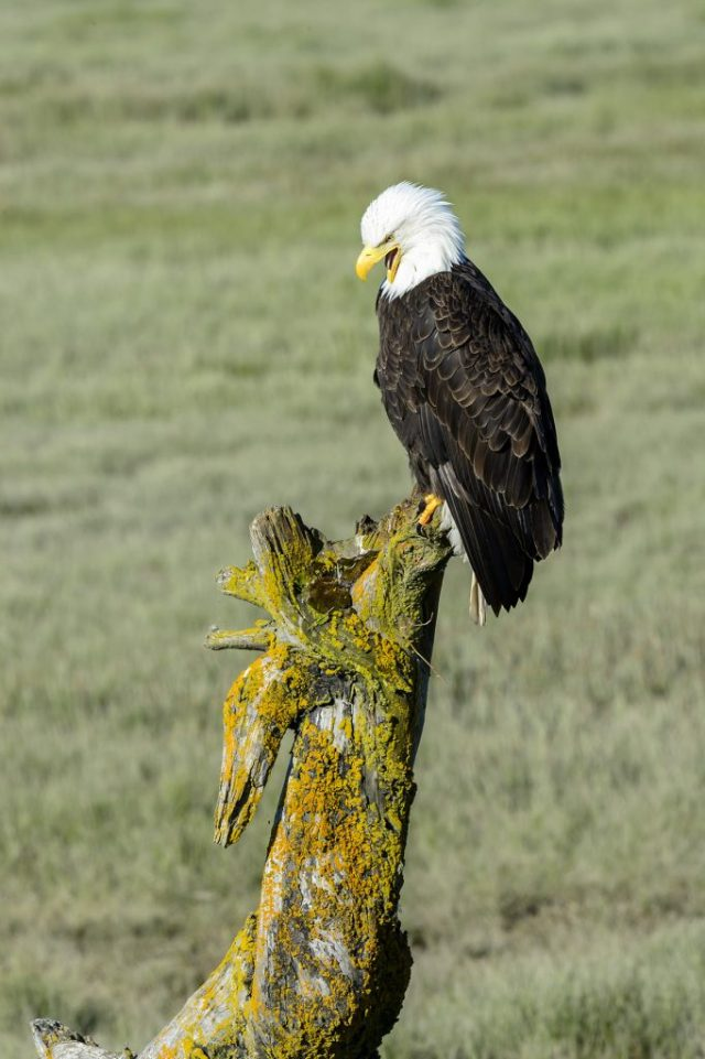 Photograph of a Bald Eagle (Haliaeetus leucocephalus) posing, Homer, AK