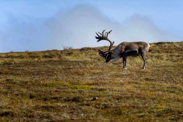 Male Caribou with Large Antler set