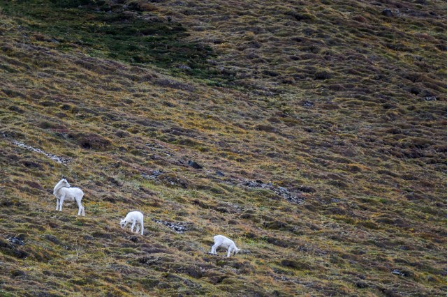 Dall Sheep (Ovis dalli) called Dall Dots by the Park Drivers