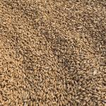 Grant's Wheat