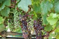 grapes-242044_1280