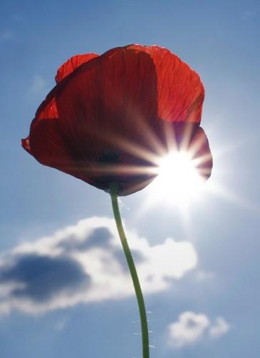 poppy-100572_150