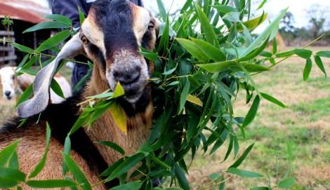 goat-snacks-bamboo