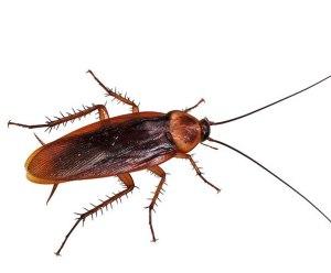 cucarachas fumigaciones manquehue