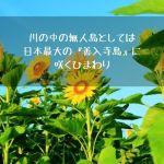川の中の無人島としては日本最大の『善入寺島』に咲くひまわり