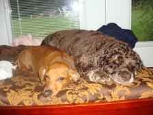 Hershey and Pudgie pals, friends and brothers forever