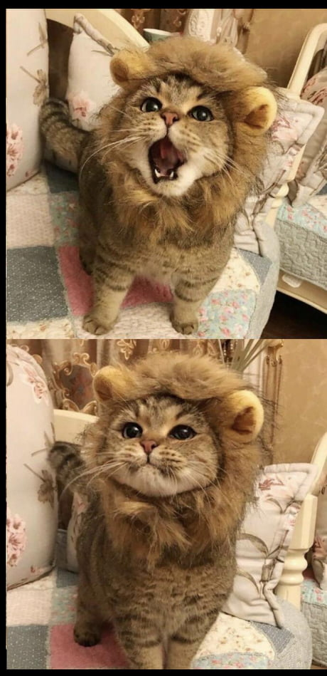 Kitty cosplaying as lion lets out ferocious roar