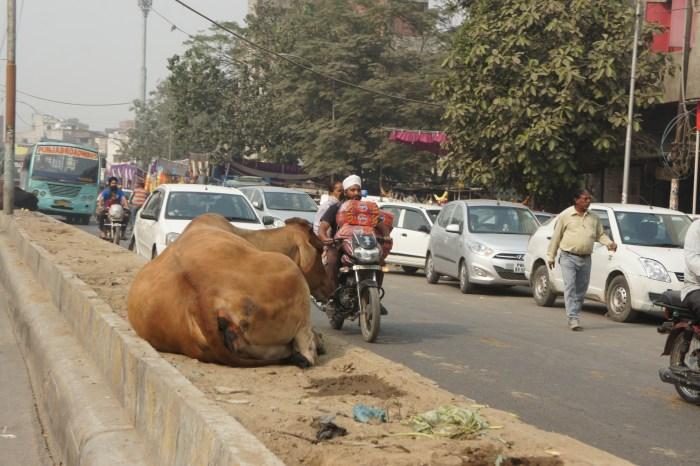 Vacas sagradas, como sempre, em qualquer lado, até nos separadores das estradas