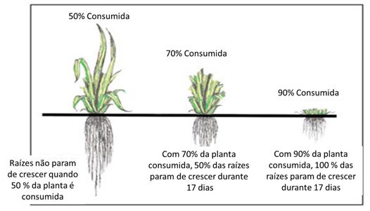 Fig. 4 – Impacto no desenvolvimento radicular em função da percentagem da planta consumida.