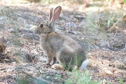A secretaria do Ambiente prepara o repovoamento do coelho bravo na ilha dourada.