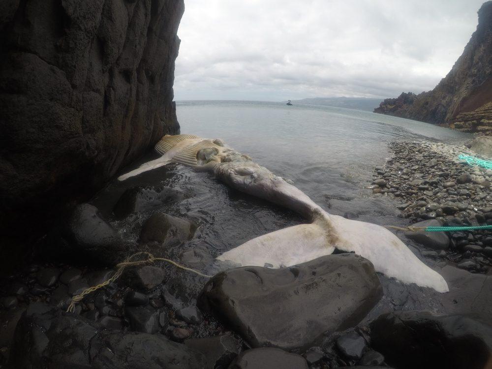 Museu da Baleia analisou baleia de bossa que estava morta e à deriva