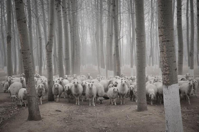 top10-amazing-picture-in-sheep