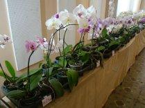 Exposição de orquídeas do Orquidário Lumani (foto Agnaldo Montesso 09-10-2018) (5)