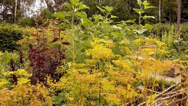koper w ogródku, zioła