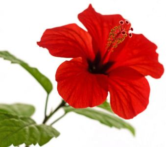 Fun Flower Facts  Hibiscus   Grower Direct Fresh Cut Flowers Presents    Hibiscus are deciduous
