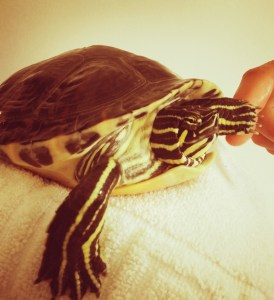 turtle relocated to Amsterdam