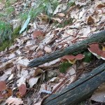 Albatrellus pes-caprae o Piede di Capra