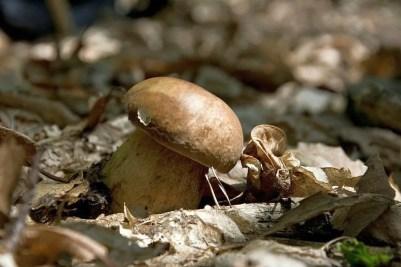Boletus reticulatus o aestivalis, porcini primaverili