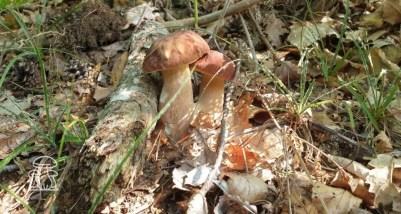 Boletus reticulatus aestivalis