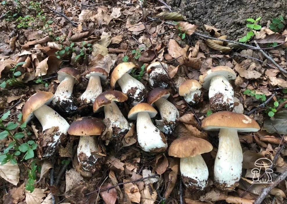 Funghi Porcini