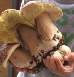 Funghi Porcini edulis enormi