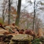Boletus pinophilus o pinicola – Boletus fuscoruber – Porcino rosso