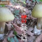 Amanita phalloides Amanita falloide
