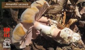 Mycogone rosea su Amanita casesarea