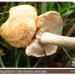 Hydnum rufescens Steccherino aranciato