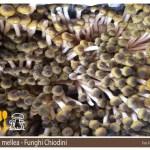 Armillaria mellea fungo chiodino