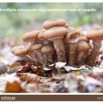 Armillaria ostoyae fungo chiodino