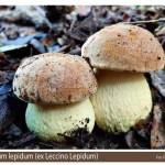 Leccinellum lepidum