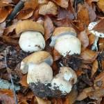 Aggiornamento funghi maggio 2020 Porcini aestivalis