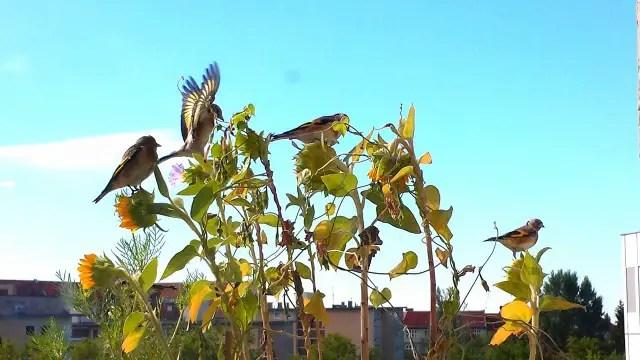 Vögel auf dem Balkon - Blumenwichteln 2013
