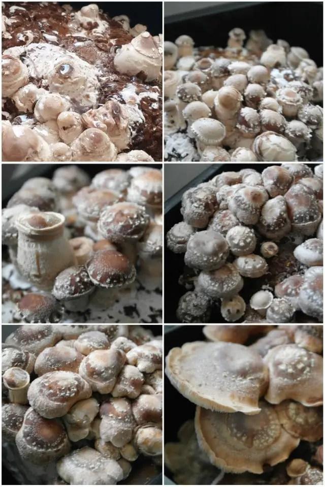 Pilzzucht Shitake Pilze
