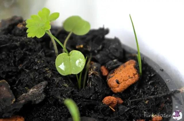 Blumenwichteln 2015 - Erste Pflänzchen