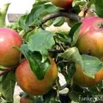 Gartenglück mit Zucchini, Gurken und Erbsen