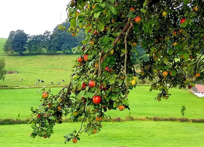 Apfelbaum in Niedersachsen